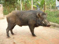 Lợn nhà cán bộ huyện sổng chuồng, cắn người nhập viện