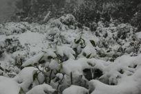 Nghệ An, Thanh Hóa: Tuyết phủ trắng trời, nhiều trâu bò chết rét
