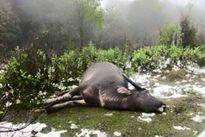 Hơn 7 nghìn gia súc chết trong đợt rét kỷ lục ở miền Bắc