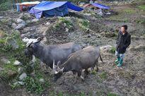 Hơn 9.000 gia súc chết do rét đậm, rét hại kỷ lục