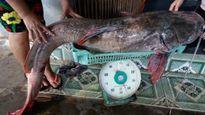 Câu được cá lăng đuôi đỏ 'khủng' trên sông Sêrêpôk