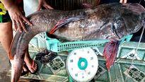 Chật vật đưa cá lăng 'khủng' quý hiếm từ sông Sêrêpôk lên bờ