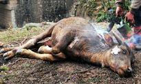 Điện Biên: Gần 1000 con gia súc bị chết sau 5 ngày rét đậm