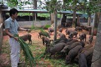 Cận cảnh trang trại lợn rừng NTC