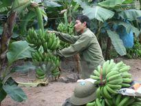 Chuối tiêu hồng Khoái Châu vào vụ thu hoạch rộ phục vụ Tết