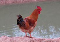 Giống gà quý hiếm bán giá cao vẫn 'cháy' hàng dịp Tết