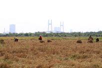 Lên Sài Gòn gặt lúa thuê kiếm tiền ăn tết