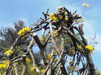 Cây mai lạ 50 tuổi hình tổ chim, hoa mọc từ thân