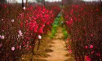 Tháng 2, mùa hoa đẹp trên mọi miền đất nước