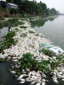 Cá nuôi trên sông chết hàng loạt