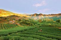 Thưởng trà trên non cao Mae Salong