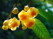 Trà hoa vàng - Hoa đẹp chơi Tết, thuốc quý trong nhà