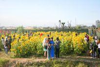 Rực rỡ vườn hoa hướng dương ở Đà Nẵng