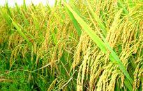Làm chủ công nghệ chọn tạo và góp phần nâng cao năng lực sản xuất giống lúa