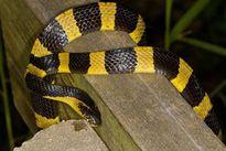 Loài rắn cực độc có sở thích ăn thịt đồng loại