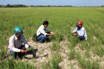 Đẩy mặn bằng tiến bộ kỹ thuật: Xử lý nước mặn bằng điện từ cho lúa mì