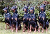 Những loại chó cảnh hung dữ giá cực chát