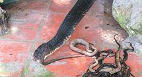 """Rắn hổ mang """"khủng"""" ở trại rắn lớn nhất nước được nuôi thế nào?"""