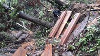 Kon tum: Phá rừng nguyên sinh quy mô lớn