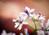 Tím sắc hoa xoan