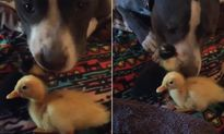 Kỳ lạ chó dữ chơi đùa với vịt con cực thân thiện