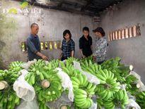 Chuối 3T: Mở lối cho chuối Việt ra nước ngoài