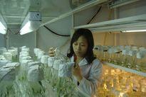 Nhân giống cây dược liệu bằng nuôi cấy mô