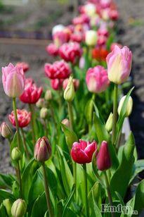 Ngắm những vườn tulip đẹp mộng mơ của nàng dâu Việt bốn phương
