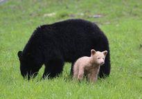 """Gấu con dính """"án tử"""" bị bố giết vì màu lông khác biệt"""