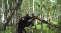Sản phụ sinh con giữa đàn gấu bao vây