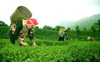 Lai Châu nâng cao năng suất chè theo tiêu chuẩn VietGAP