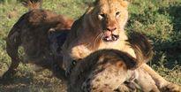 24h qua ảnh: Sư tử một mình quyết chiến với bầy linh cẩu đói