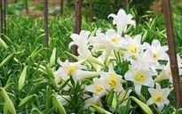 6 loại cây hoa 'đẹp nhưng độc' mẹ bầu tuyệt đối tránh xa trong thai kỳ