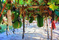 'Nghệ nhân' chia sẻ cách trồng bí đao khổng lồ nặng nửa tạ mỗi trái