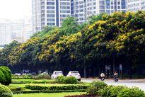 Điệp vàng trải thảm đẹp mắt giữa Thủ đô