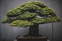Chiêm ngưỡng những chậu cây bonsai tuyệt đẹp trên thế giới