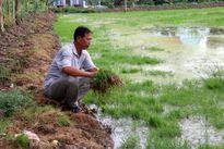 """Cuộc """"tranh hùng"""" giữa con tôm và cây lúa ở Kiên Giang"""