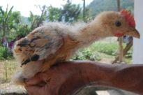 Thủ đoạn sơn lông gà công nghiệp 'hô biến' thành gà Đông Tảo quý