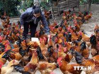 Nhiều ứng dụng khoa học trong ngành chăn nuôi đạt hiệu quả cao