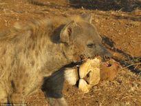 Khó tin hình ảnh linh cẩu tha.. đầu sư tử
