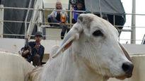 Cấm xuất khẩu bò Úc sang VN: Đang dừng để điểu tra