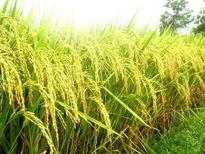Giá gạo Ấn Độ tăng, gạo Việt Nam thấp nhất gần 5 tháng