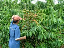 Mô hình cà phê xen canh sầu riêng đem lại hiệu quả cao