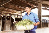 Nuôi bò sữa VietGAP mỗi tháng thu 200 triệu đồng