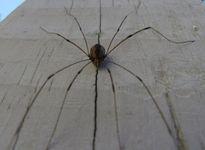 """Kỳ lạ loài nhện có tên """"Bố yêu chân dài"""""""