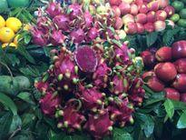 Nghịch lý giá thanh long tại nhà vườn và tại Hà Nội