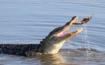 Cá sấu khổng lồ vật vã nhai nát con cua móng ngựa