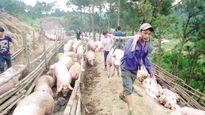 Lợn hơi Hà Nội rớt giá: Người nuôi lao đao vì chạy theo 'sốt ảo'