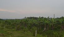 Nghệ An: Lụi dần dự án trồng chuối xuất khẩu triệu đô