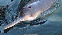 Câu chuyện nguy cấp về loài 'cá heo lai chuột' hiếm nhất hành tinh